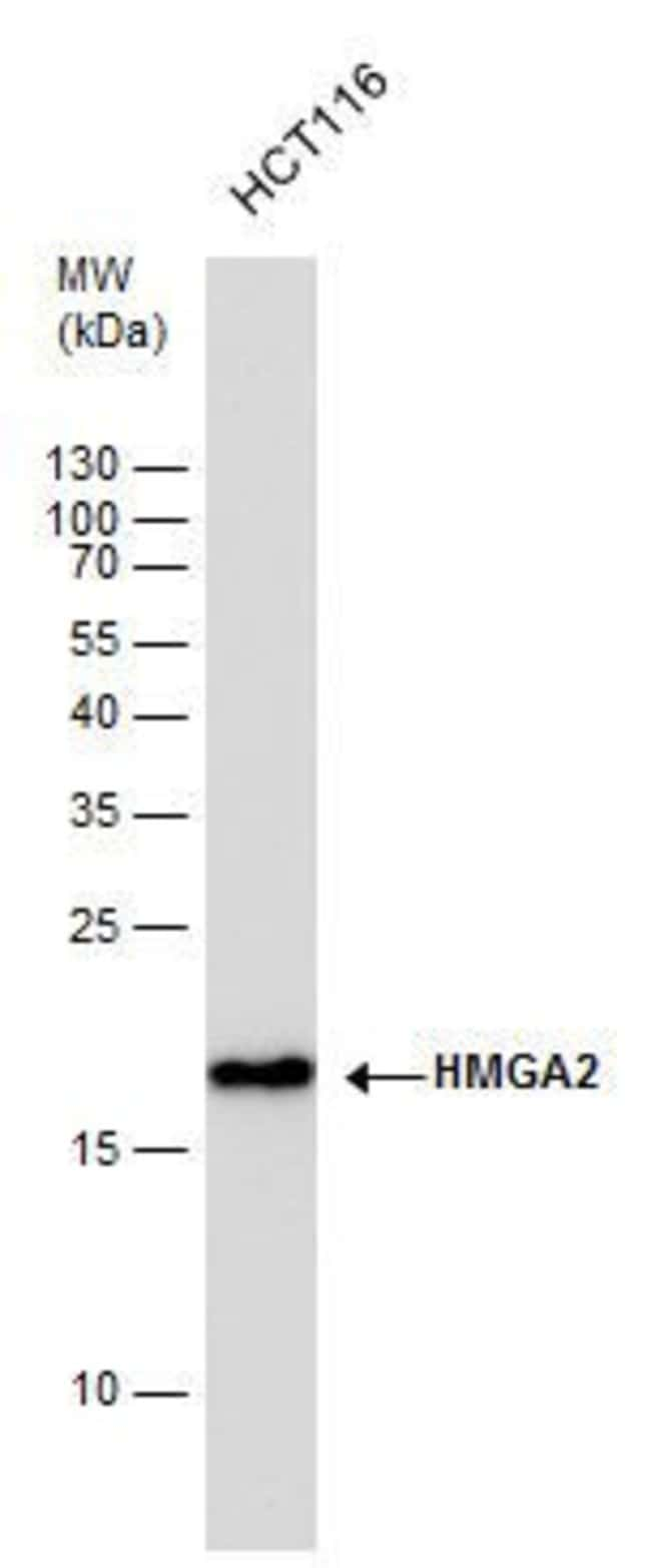 HMGA2 Rabbit anti-Human, Mouse, Rat, Polyclonal, Invitrogen 100 µL;