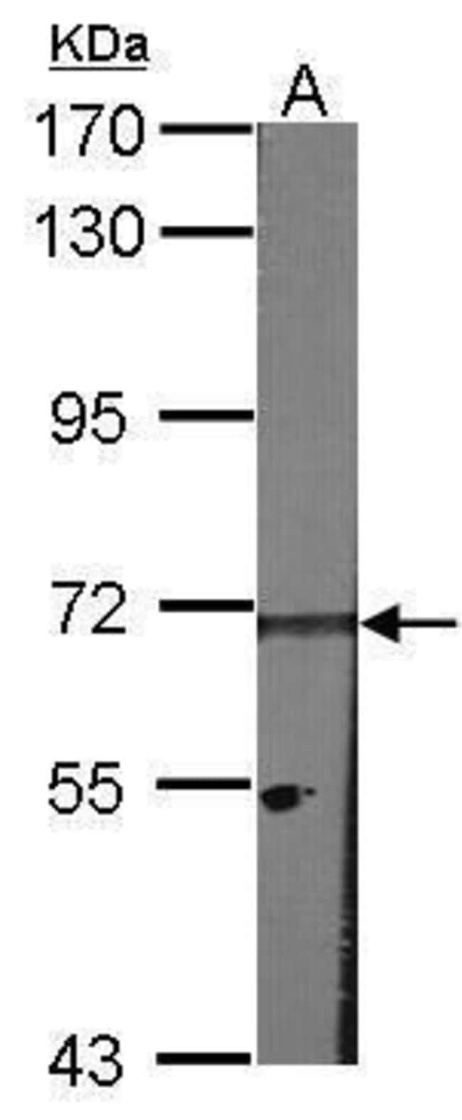HPa2, Polyclonal, Invitrogen 100µL; Unconjugated