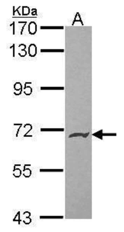 PODXL2 Rabbit anti-Human, Polyclonal, Invitrogen 100 µL; Unconjugated