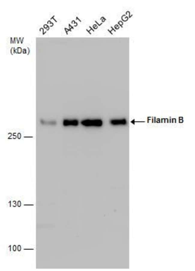Filamin B Rabbit anti-Human, Mouse, Polyclonal, Invitrogen 100 µL;