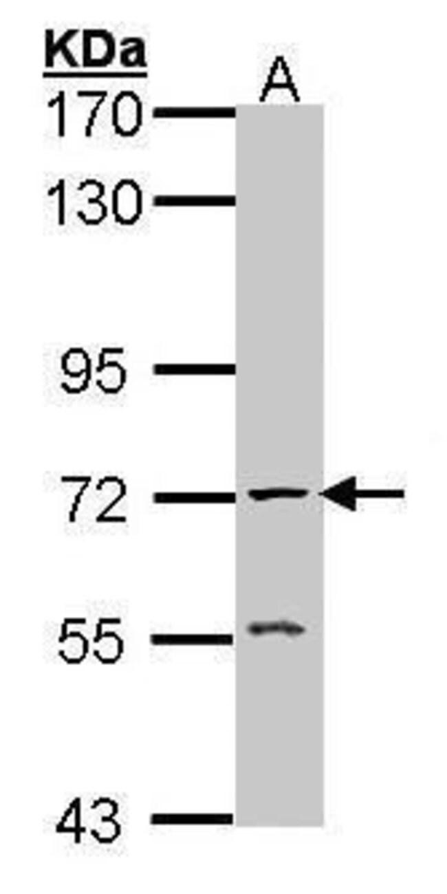 Acetylcholinesterase Rabbit anti-Human, Mouse, Rat, Polyclonal, Invitrogen