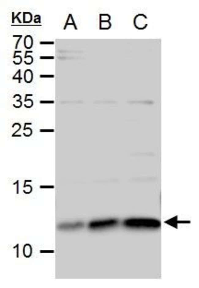 ERH Rabbit anti-Human, Mouse, Polyclonal, Invitrogen 100 µL; Unconjugated