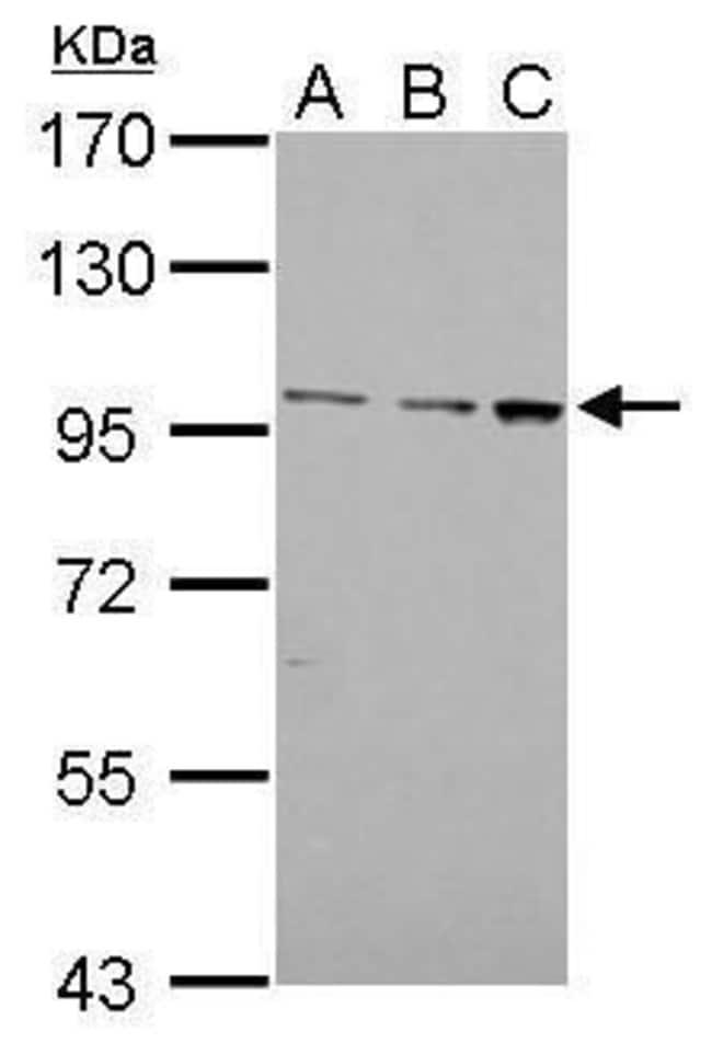 F4/80 Rabbit anti-Human, Rat, Polyclonal, Invitrogen 100 µL; Unconjugated