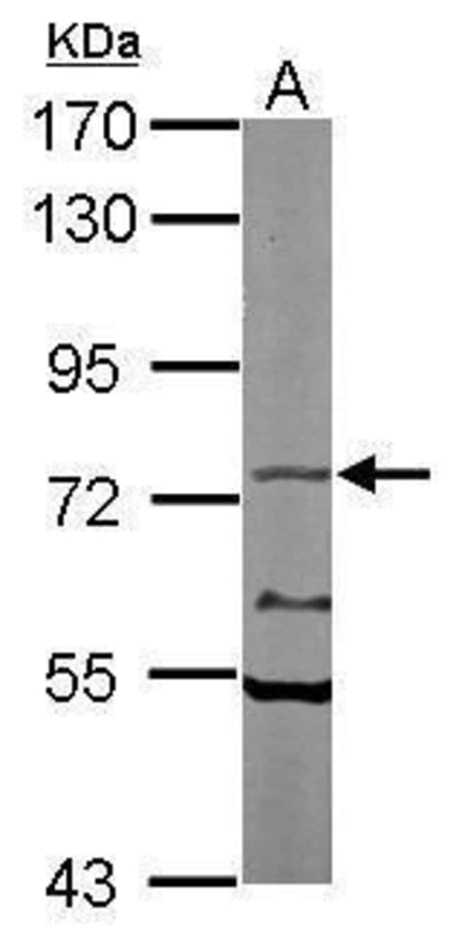 TAP Rabbit anti-Human, Mouse, Polyclonal, Invitrogen 100 µL; Unconjugated