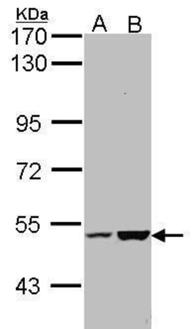 EFCAB14 Rabbit anti-Human, Polyclonal, Invitrogen 100 µL; Unconjugated