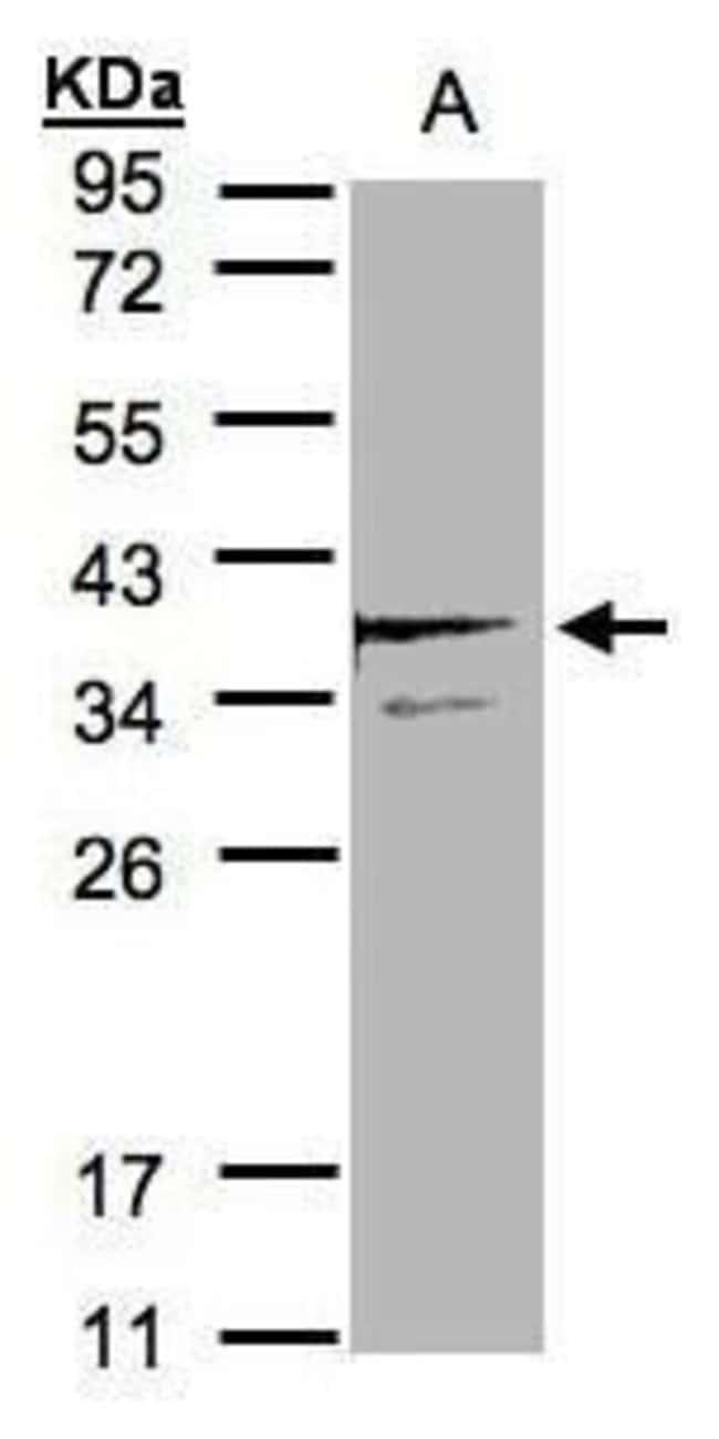 SCAMP3 Rabbit anti-Human, Polyclonal, Invitrogen 100 µL; Unconjugated