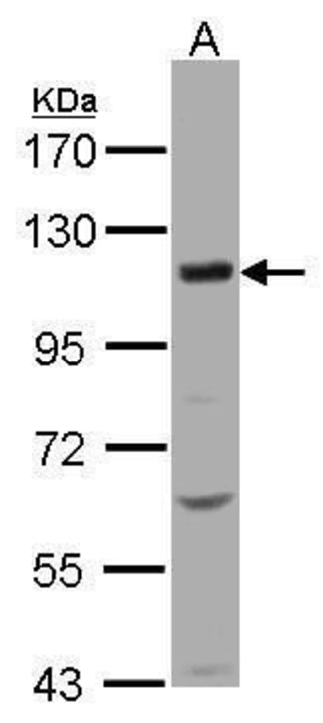 KCC4 Rabbit anti-Human, Polyclonal, Invitrogen 100 µL; Unconjugated