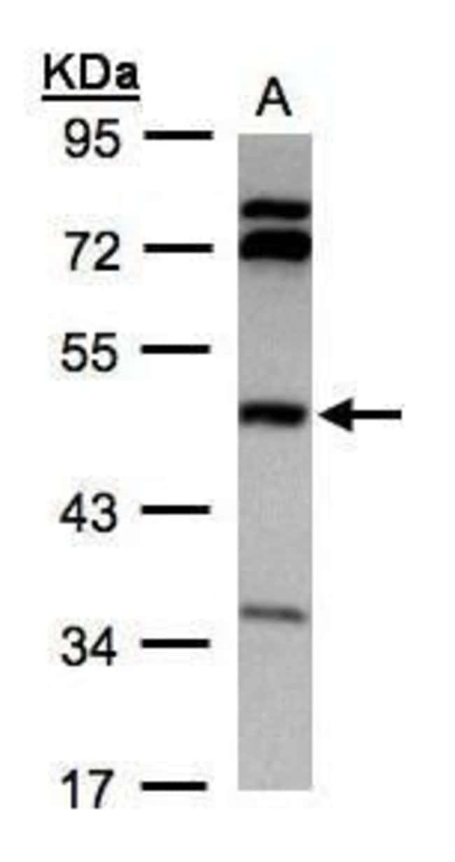 BHMT Rabbit anti-Human, Polyclonal, Invitrogen 100 µL; Unconjugated
