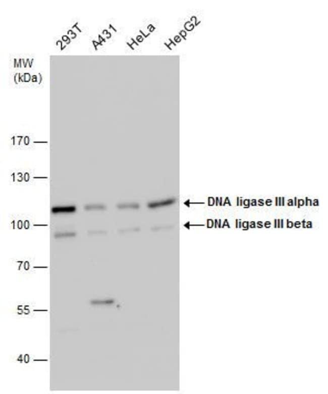 DNA Ligase III Rabbit anti-Human, Polyclonal, Invitrogen 100 µL; Unconjugated