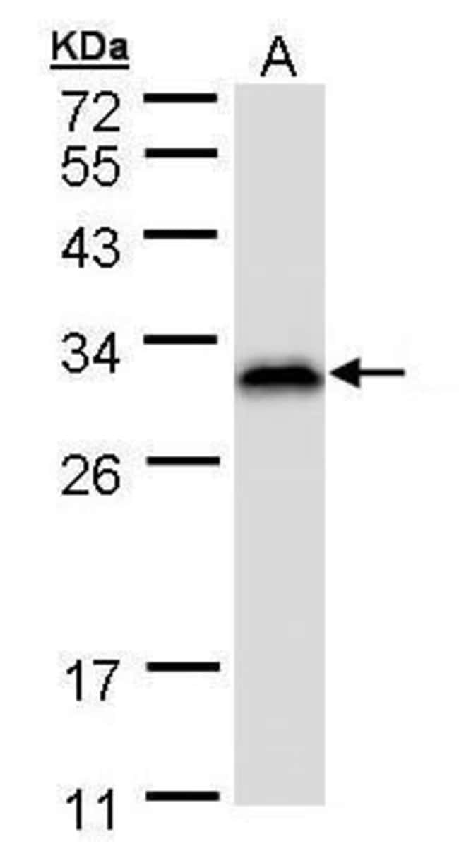 RANBP1 Rabbit anti-Human, Mouse, Polyclonal, Invitrogen 100 µL; Unconjugated