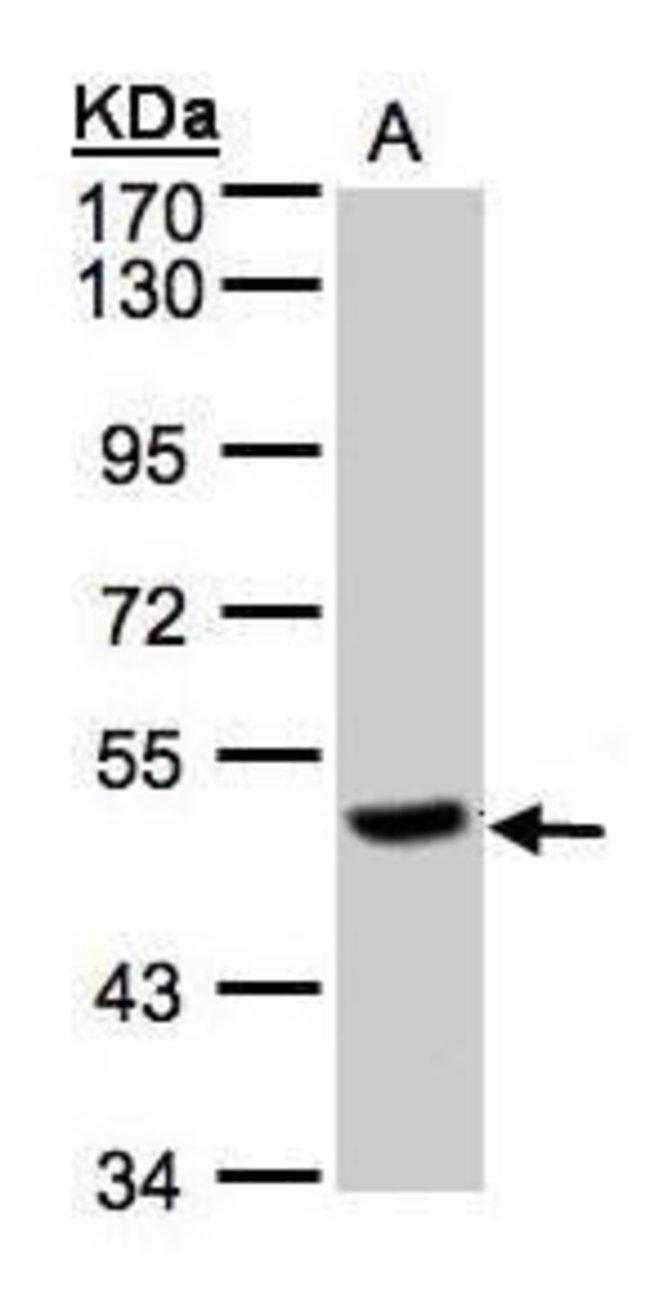 PGCP Rabbit anti-Human, Polyclonal, Invitrogen 100 µL; Unconjugated