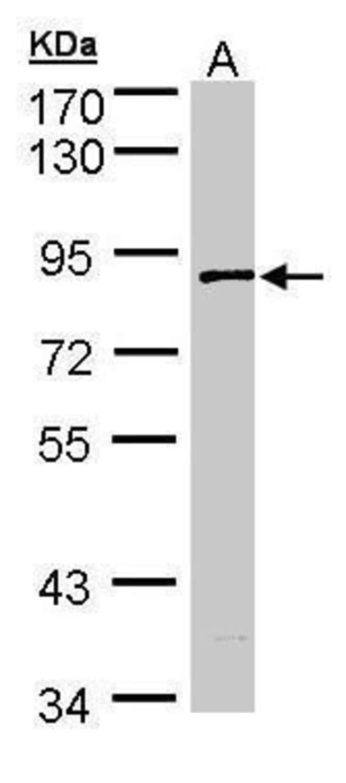 SCYL3 Rabbit anti-Human, Polyclonal, Invitrogen 100 µL; Unconjugated