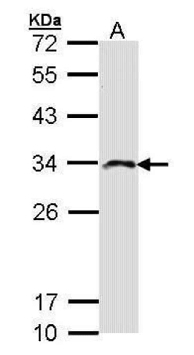 IMPA2 Rabbit anti-Human, Polyclonal, Invitrogen 100 µL; Unconjugated