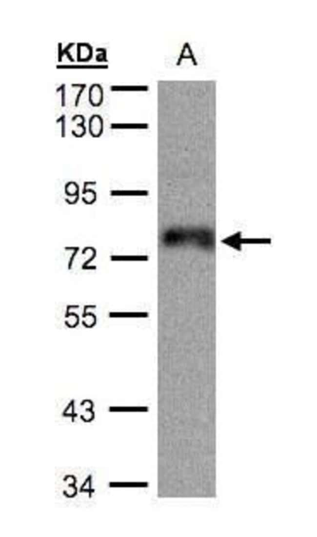 ZNF7 Rabbit anti-Human, Polyclonal, Invitrogen 100 µL; Unconjugated