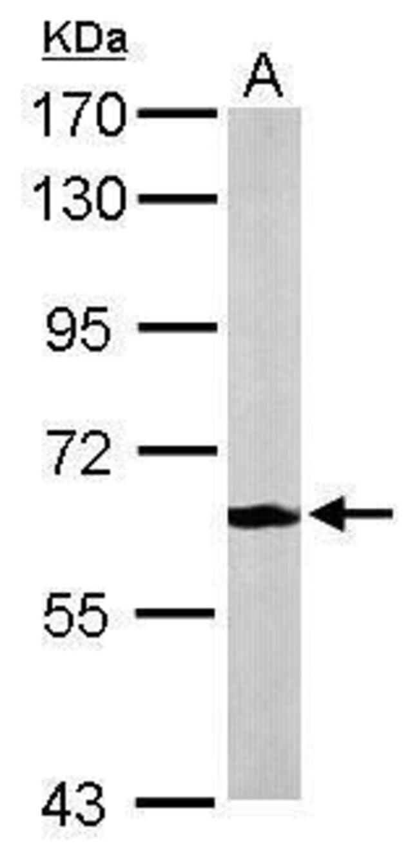 MPP2 Rabbit anti-Human, Mouse, Polyclonal, Invitrogen 100 µL; Unconjugated