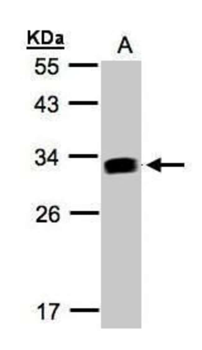 IFI30 Rabbit anti-Human, Polyclonal, Invitrogen 100 µL; Unconjugated