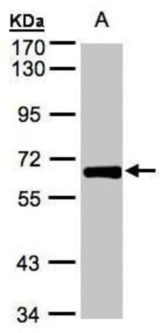 ZNF169 Rabbit anti-Human, Polyclonal, Invitrogen 100 µL; Unconjugated