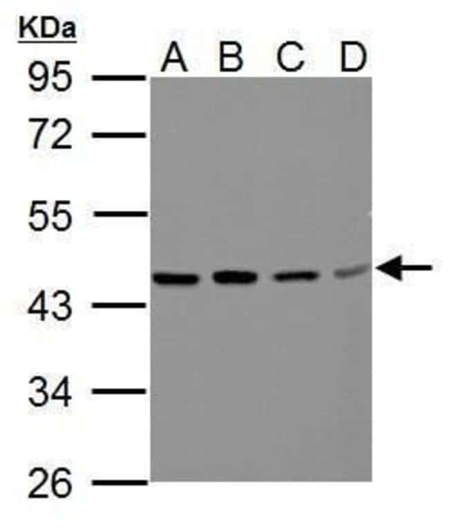BCAT2 Rabbit anti-Human, Mouse, Polyclonal, Invitrogen 100 µL; Unconjugated