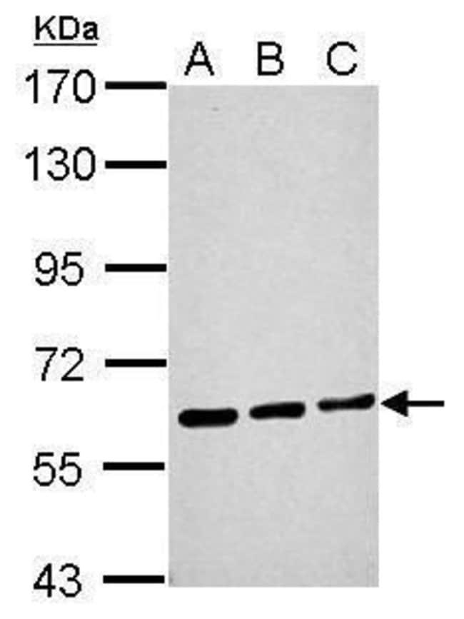 ME1 Rabbit anti-Human, Mouse, Rat, Polyclonal, Invitrogen 100 µL;