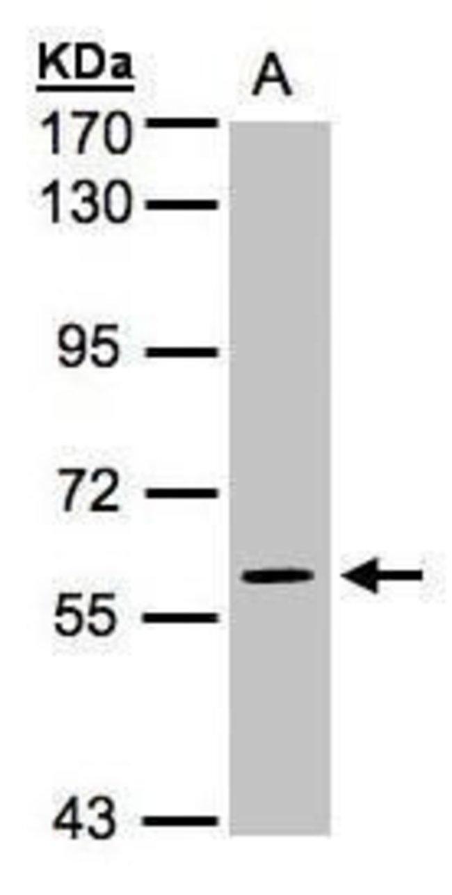 MAPK4 Rabbit anti-Human, Polyclonal, Invitrogen 100 µL; Unconjugated
