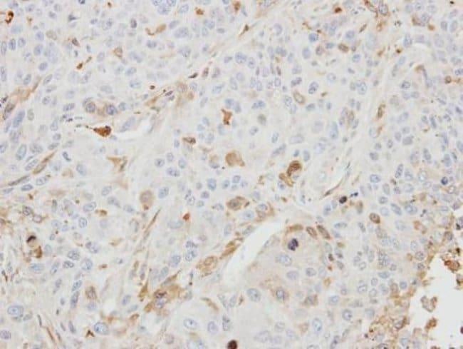 BHMT2 Rabbit anti-Human, Mouse, Polyclonal, Invitrogen 100 µL; Unconjugated
