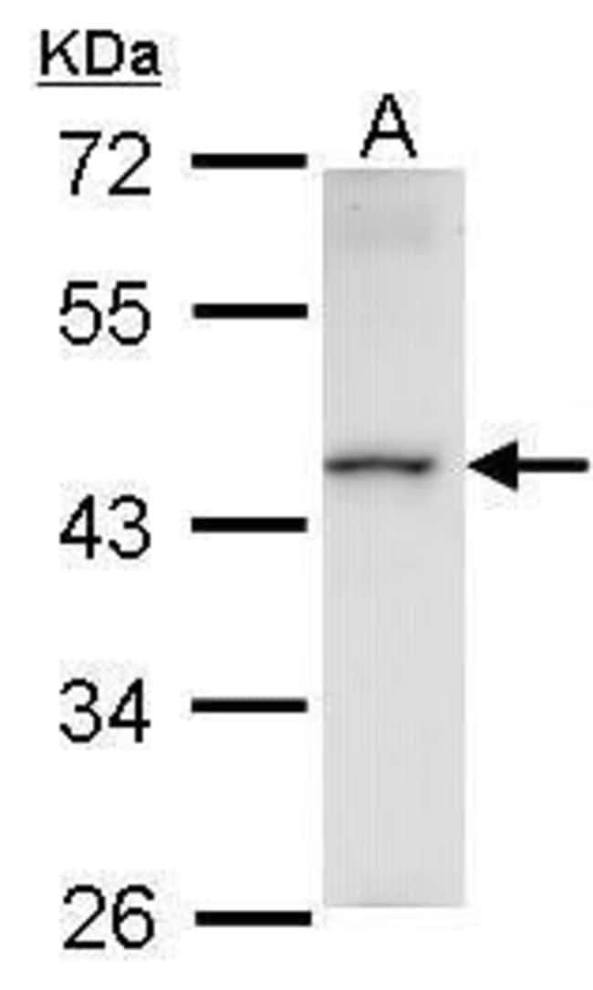 HMBOX1 Rabbit anti-Human, Polyclonal, Invitrogen 100 µL; Unconjugated