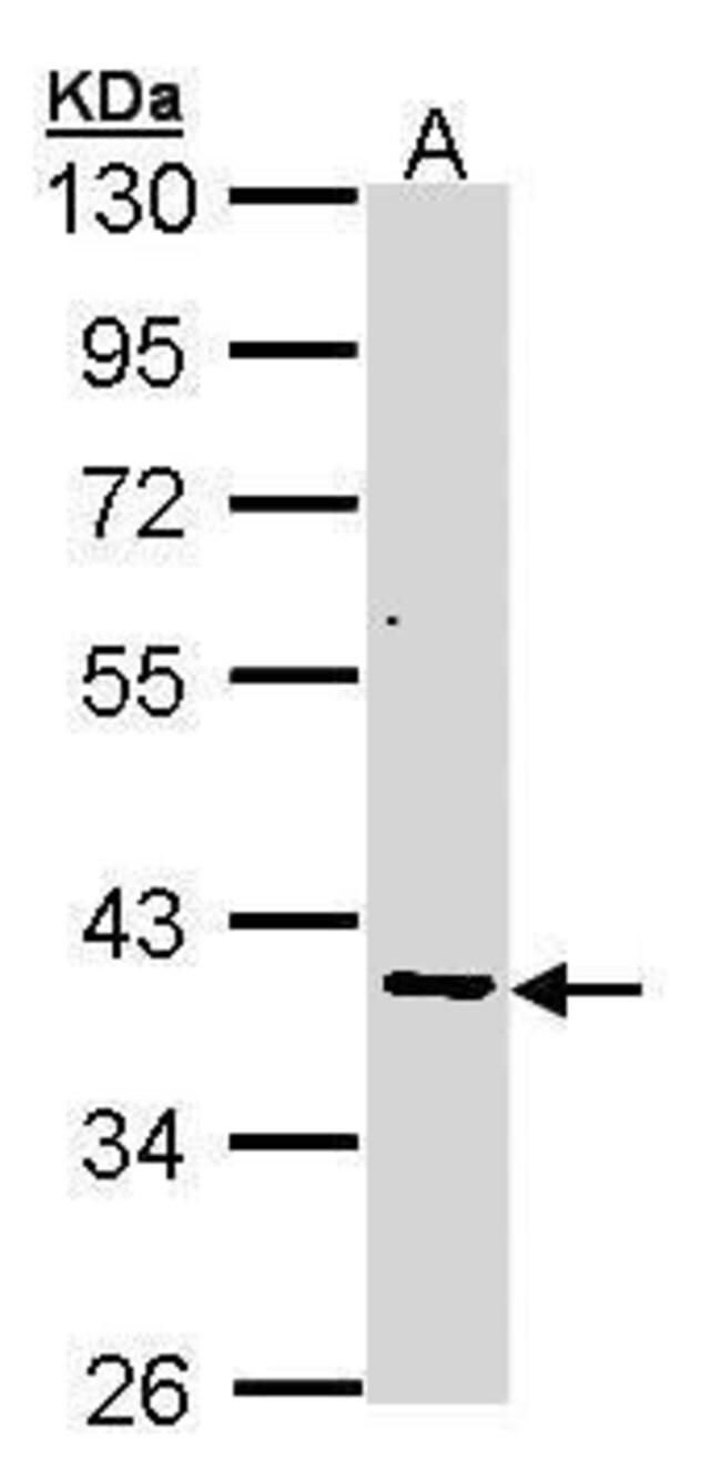 AKR7A2 Rabbit anti-Human, Mouse, Polyclonal, Invitrogen 100 µL; Unconjugated