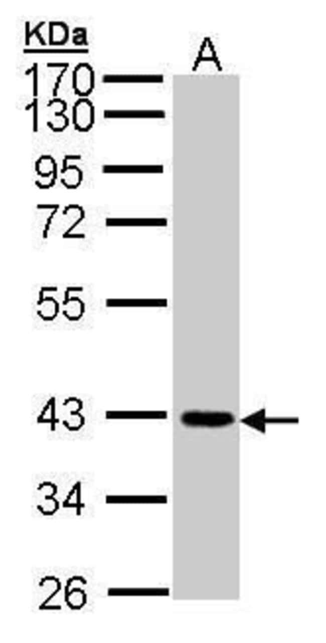 JAM2 Rabbit anti-Human, Mouse, Polyclonal, Invitrogen 100 µL; Unconjugated