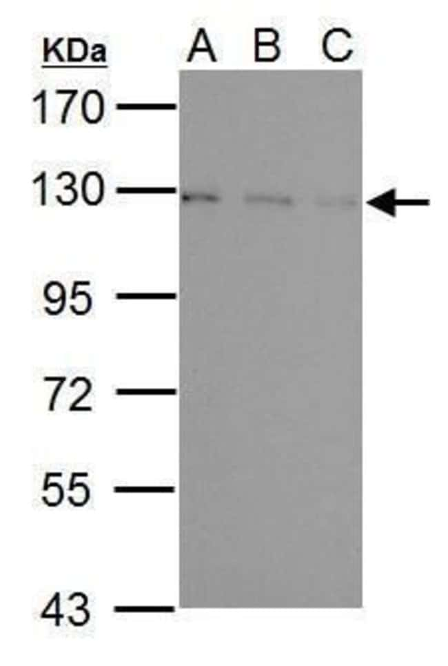USP15 Rabbit anti-Human, Mouse, Polyclonal, Invitrogen 100 µL; Unconjugated