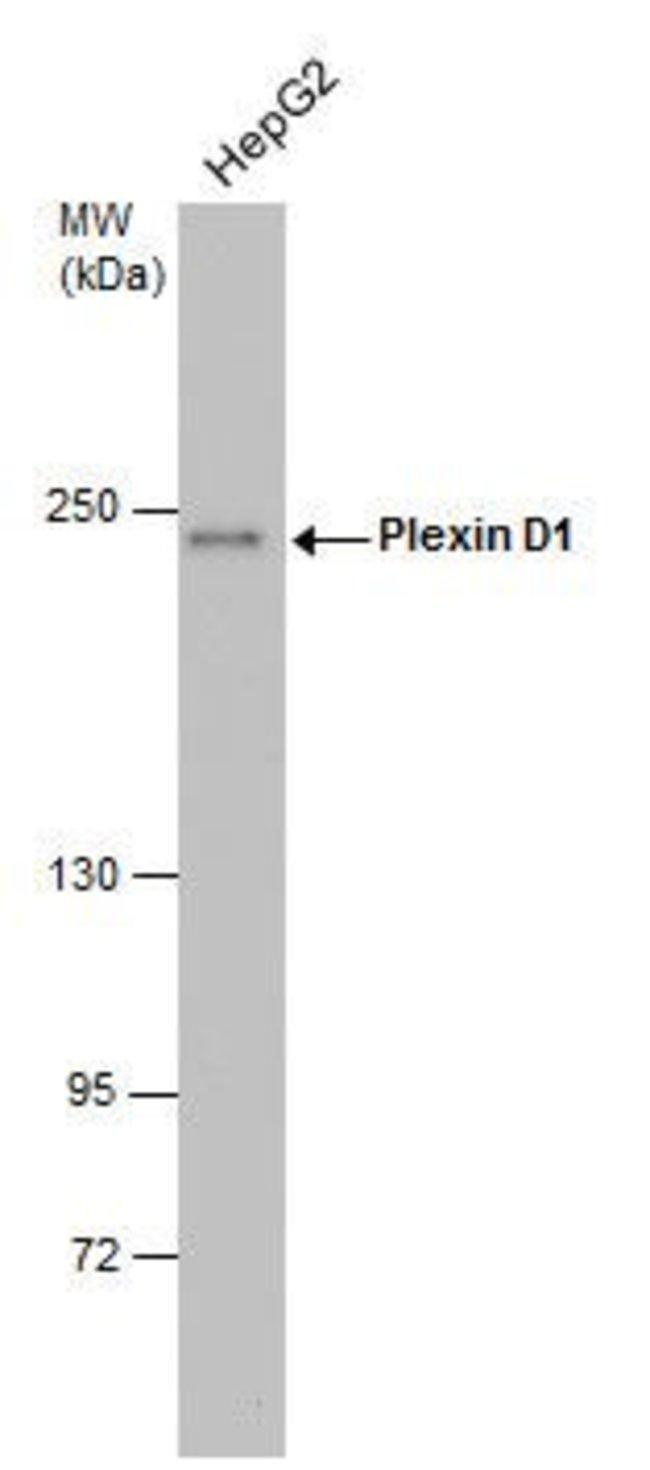 PLXND1, Polyclonal, Invitrogen 100µL; Unconjugated