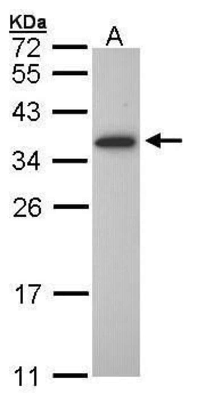 OLIG1 Rabbit anti-Human, Mouse, Polyclonal, Invitrogen 100 µL; Unconjugated