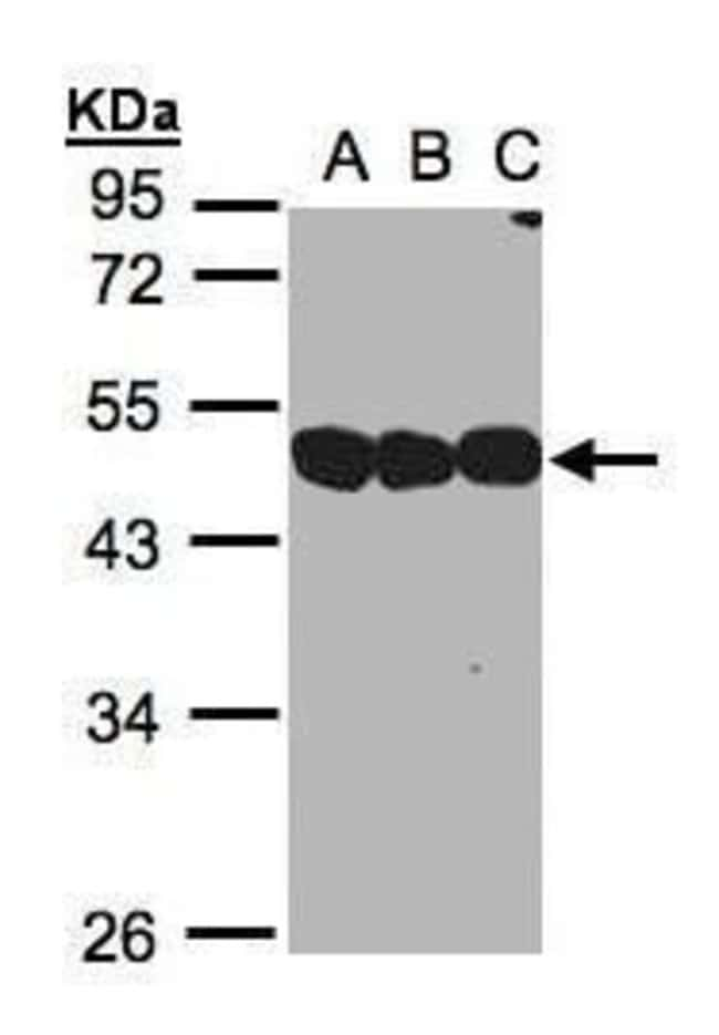 NSFL1C Rabbit anti-Human, Mouse, Rat, Polyclonal, Invitrogen 100 µL;