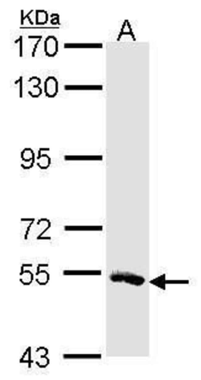 MSTO1 Rabbit anti-Human, Polyclonal, Invitrogen 100 µL; Unconjugated