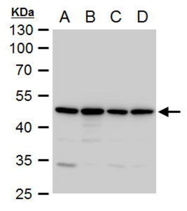 Annexin A7 Rabbit anti-Human, Polyclonal, Invitrogen 100 µL; Unconjugated