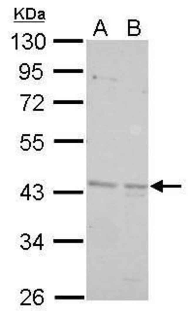 BRE Rabbit anti-Human, Mouse, Polyclonal, Invitrogen 100 µL; Unconjugated