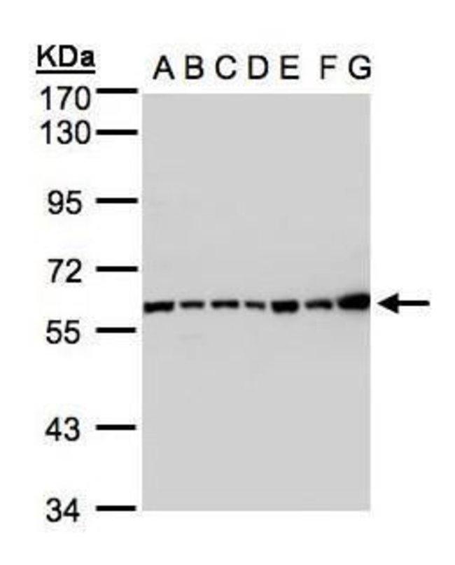 C2 Rabbit anti-Human, Polyclonal, Invitrogen 100 µL; Unconjugated