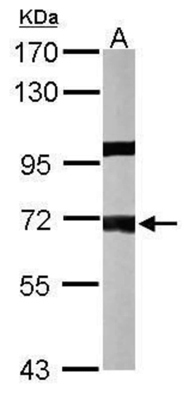 PPP1R16A Rabbit anti-Human, Mouse, Polyclonal, Invitrogen 100 µL;
