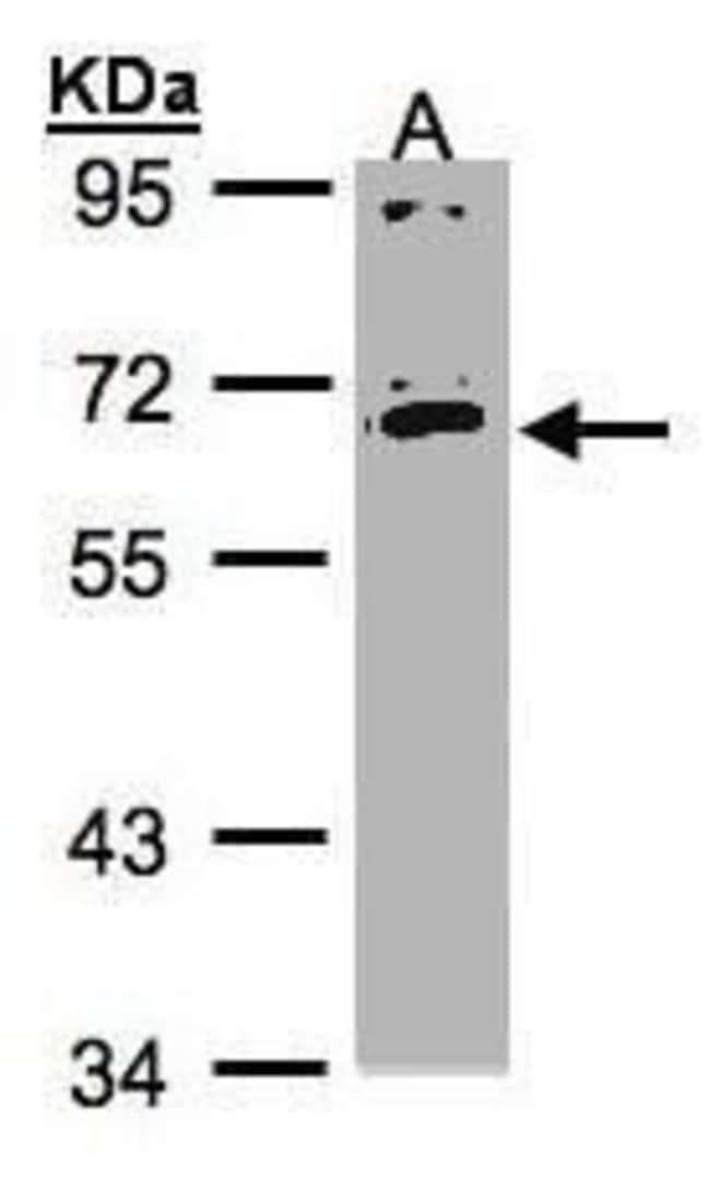 IL17RC Isoform 1 Precursor Rabbit anti-Human, Polyclonal, Invitrogen 100
