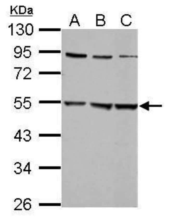 GLRA2 Rabbit anti-Human, Mouse, Polyclonal, Invitrogen 100 µL; Unconjugated
