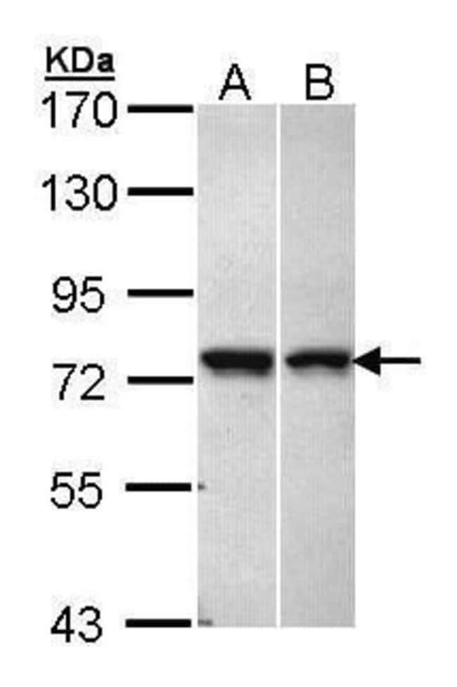 VPS51 Rabbit anti-Human, Polyclonal, Invitrogen 100 µL; Unconjugated