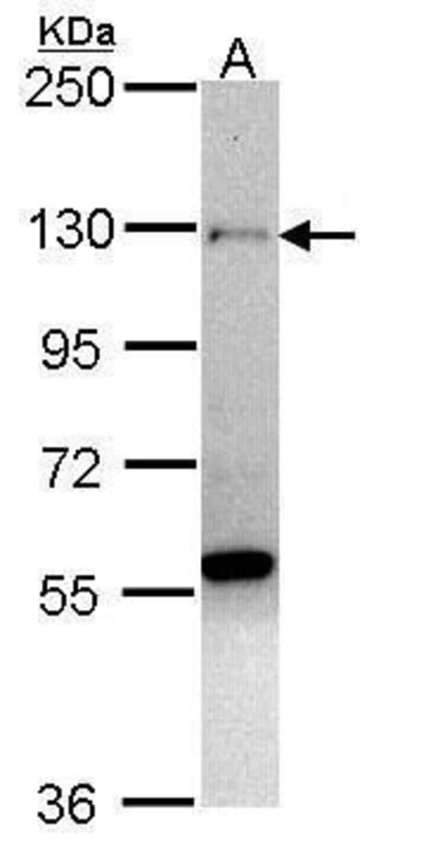 ZNF574 Rabbit anti-Human, Polyclonal, Invitrogen 100 µL; Unconjugated