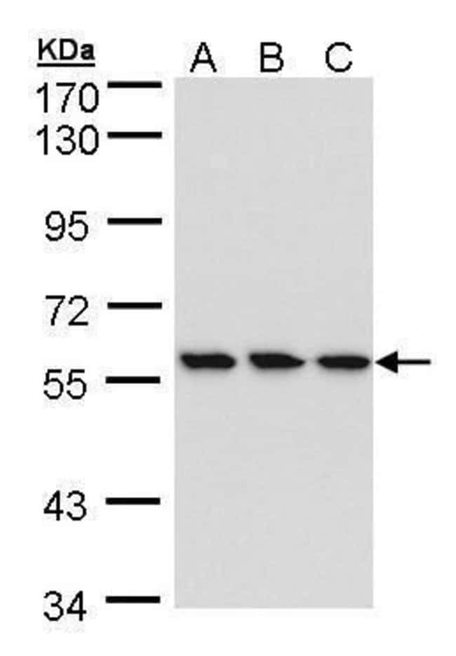 HCE Rabbit anti-Human, Polyclonal, Invitrogen 100 µL; Unconjugated