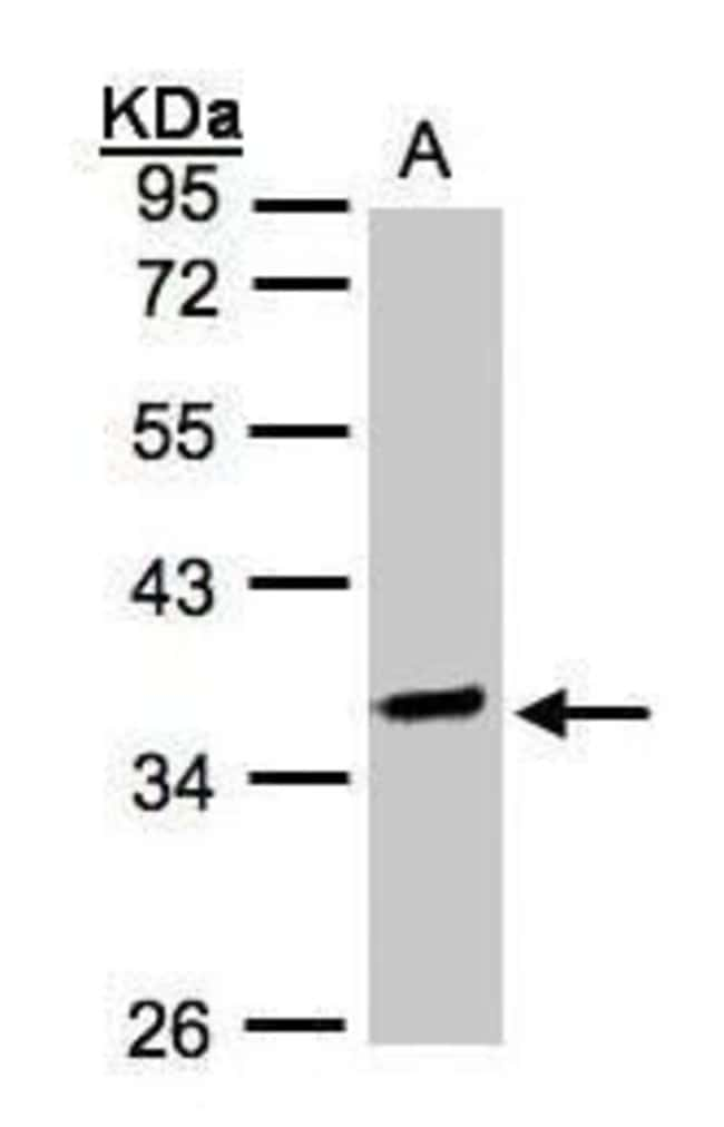 OSGEP Rabbit anti-Human, Polyclonal, Invitrogen 100 µL; Unconjugated