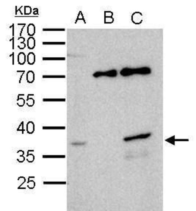 WBSCR22 Rabbit anti-Human, Polyclonal, Invitrogen 100 µL; Unconjugated