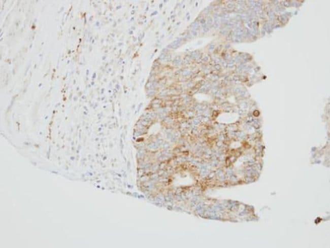 SUOX Rabbit anti-Human, Mouse, Polyclonal, Invitrogen 100 µL; Unconjugated