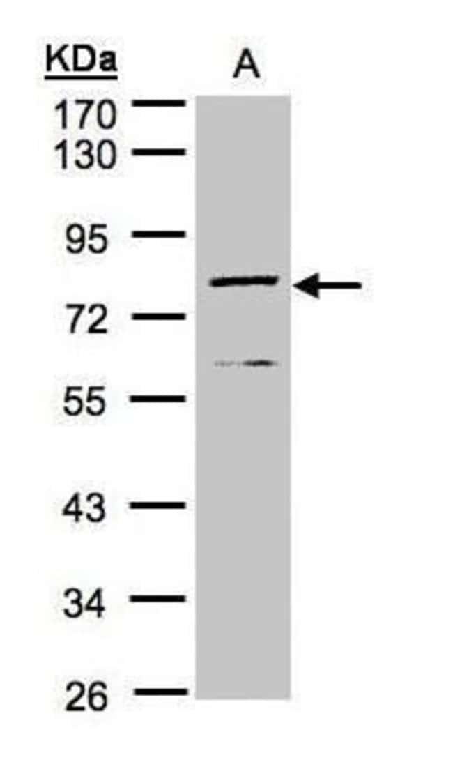 DPP3 Rabbit anti-Human, Mouse, Polyclonal, Invitrogen 100 µL; Unconjugated