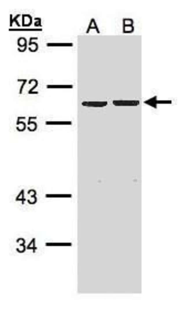 ZNF306 Rabbit anti-Human, Polyclonal, Invitrogen 100 µL; Unconjugated