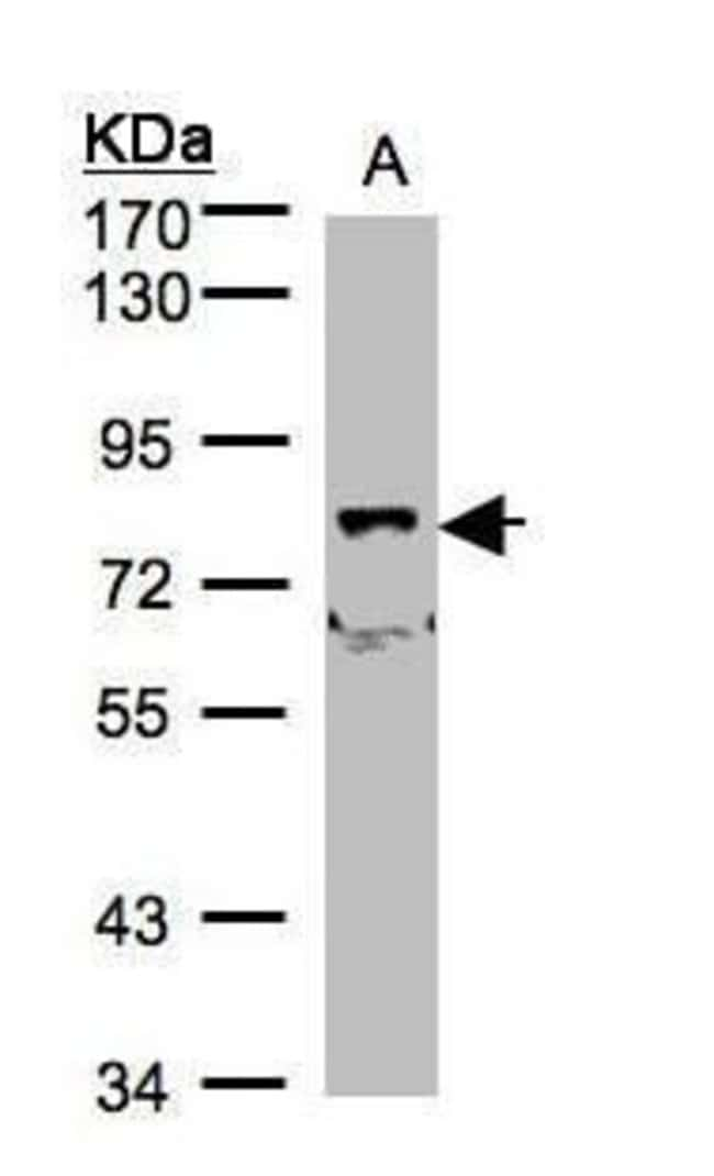 SHKBP1 Rabbit anti-Human, Polyclonal, Invitrogen 100 µL; Unconjugated
