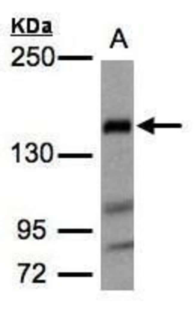 FLII Rabbit anti-Human, Mouse, Polyclonal, Invitrogen 100 µL; Unconjugated