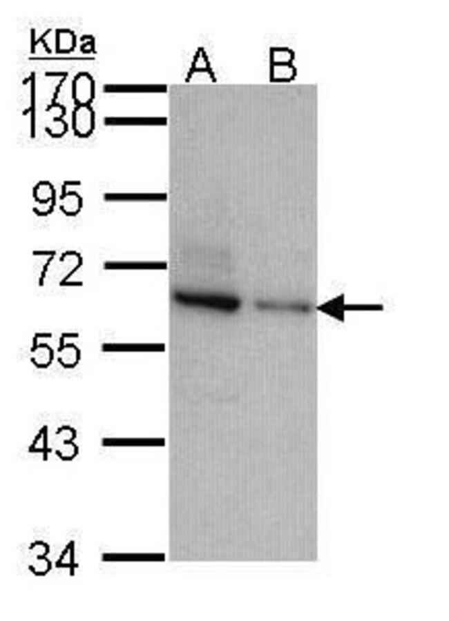 TOM1L2 Rabbit anti-Human, Polyclonal, Invitrogen 100 µL; Unconjugated